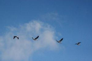 Kraniche im Formationsflug